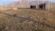 رهاسازی یوزپلنگ در منطقه حفاظت شده سمنان + فیلم
