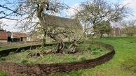 درخت واقعی سیب  در خانه نیوتن کشف شد+عکس