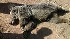 کشف لاشه خرس در بخش کجور نوشهر