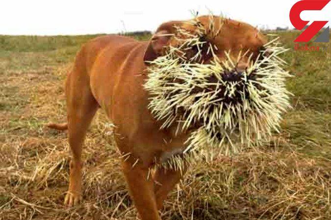ببینید جوجه تیغی چه بلایی سر 3 سگ آورد+تصاویر