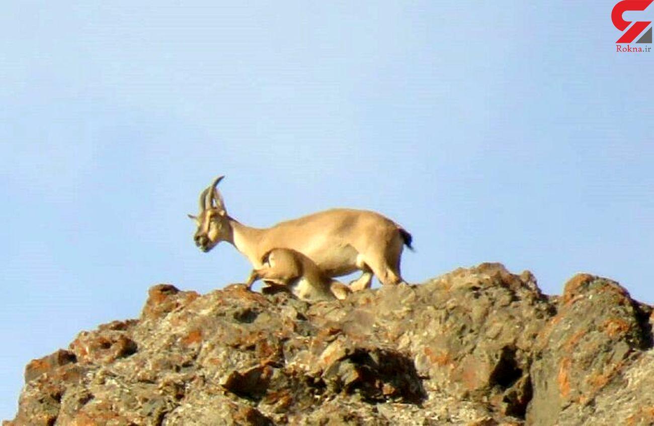 در فصل زاد و ولد به زیستگاه حیات وحش نزدیک نشوید