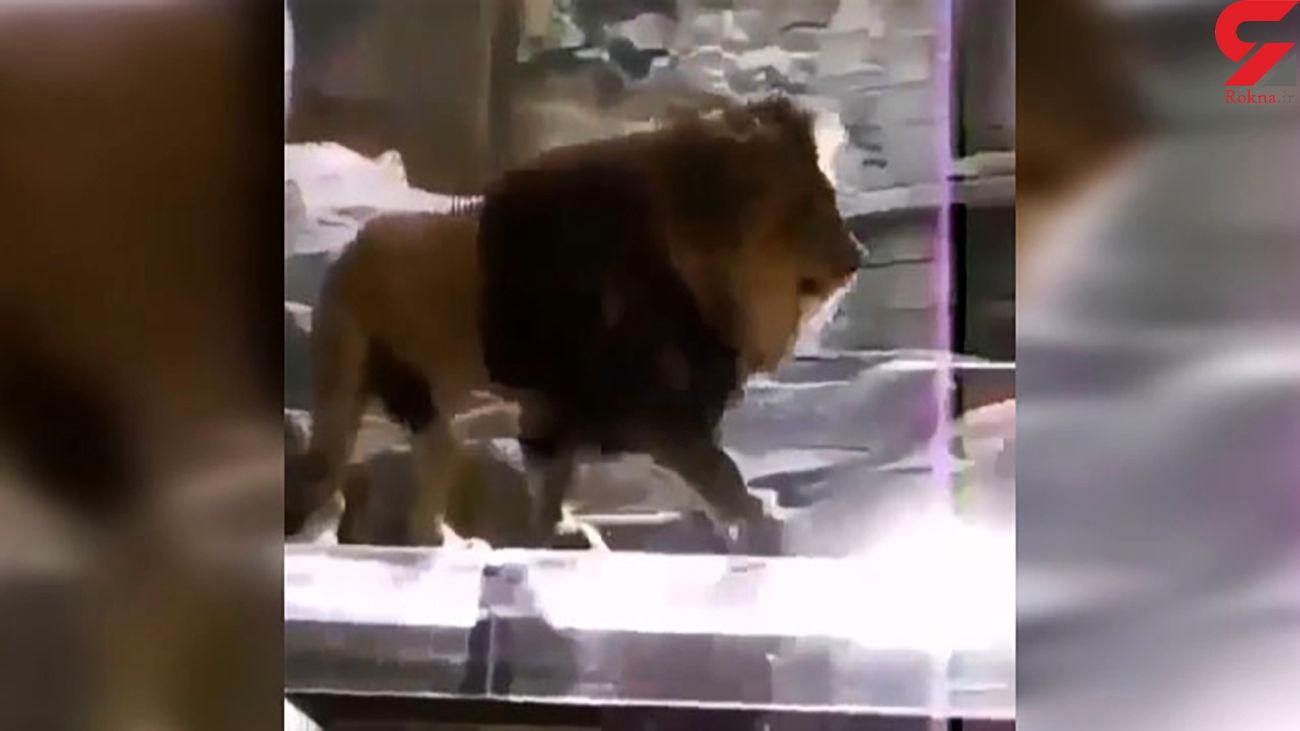 حمله شیرنر به یک مرد / شیر ماده میانجیگری کرد + فیلم دیدنی / امریکا