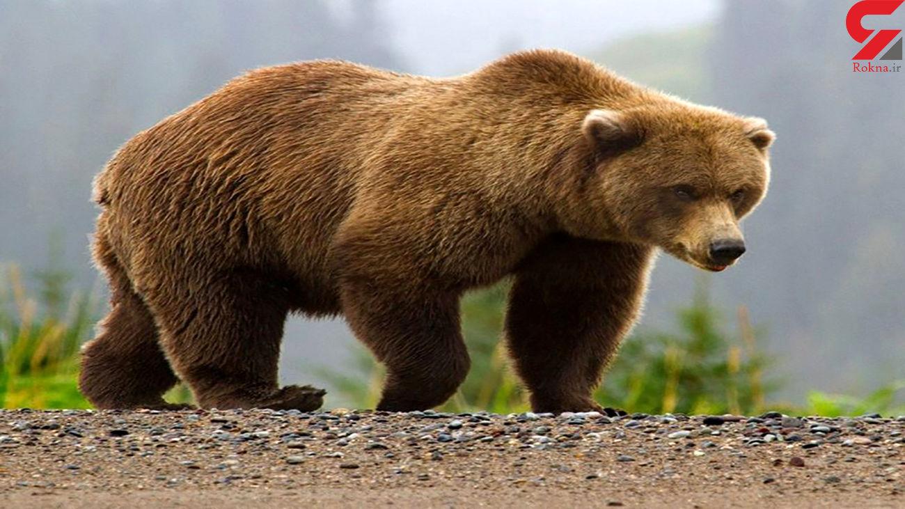مشاهده خرس و تولههاش در منطقه چشمه میشی کهگیلویه + فیلم