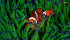 عکس روز نشنال جئوگرافیک یک دلقک ماهی است