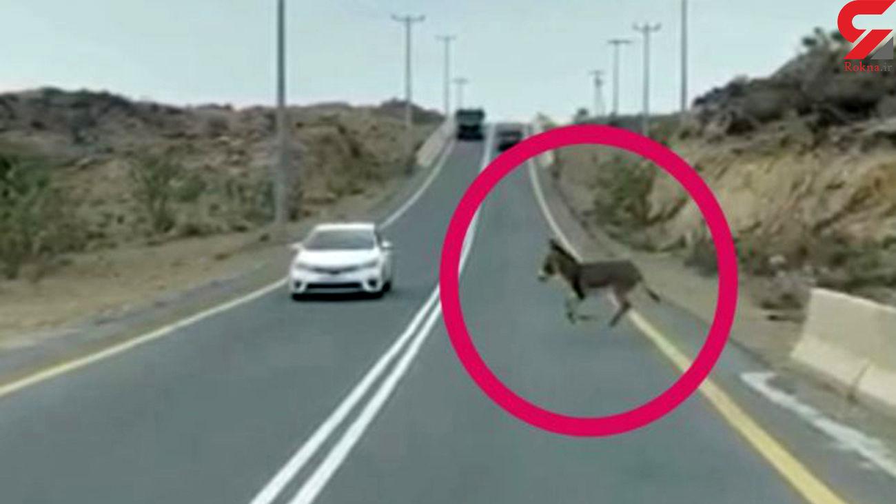 فیلم دلخراش از  تصادف یک الاغ با ماشین / تقلای کره اش برای نجات مادر