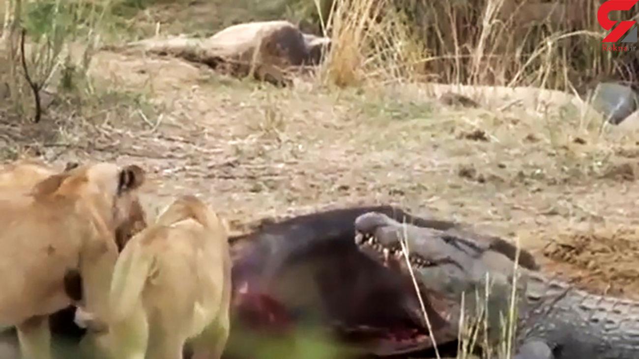 جدال کروکودیل با 3 شیر بر سر خوردن یک اسب آبی + فیلم دیدنی