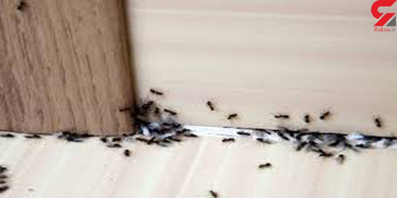 از بین بردن مورچه های خانگی با ساده ترین روش ها