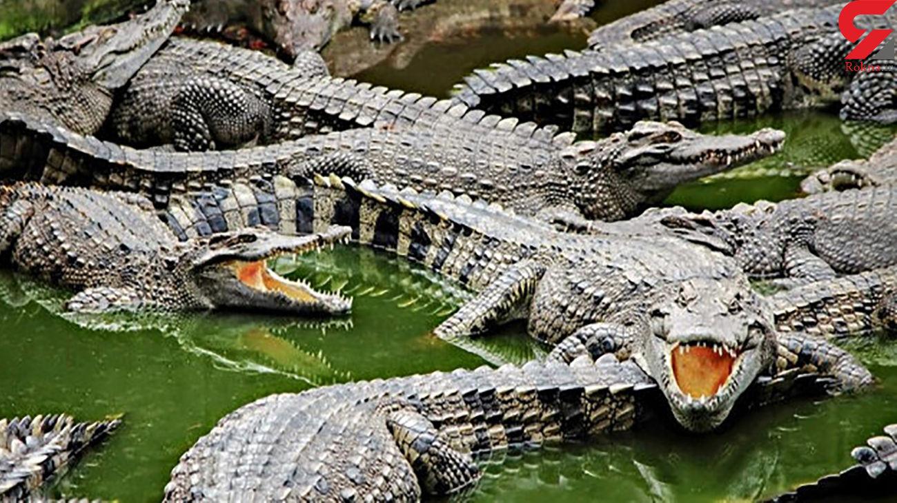 تمساح ها این مرد را محاصره کردند+ فیلم