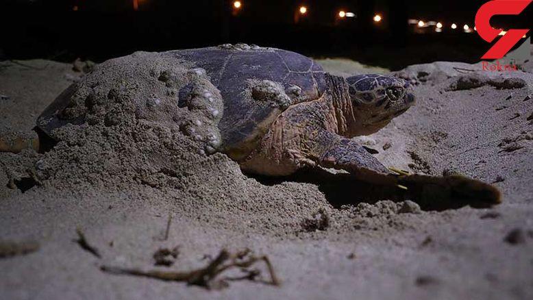 حمایت از انقراض گونههای مختلف لاکپشت دریایی در چابهار+ فیلم