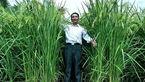 پرورش برنج های 2 متری توسط دانشمندان چینی