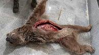 عکس تکاندهنده از لاشه یک خرس در دنا / بازداشت شکارچیان