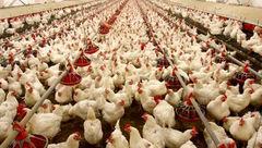 اعتراض مرغداران به قیمت دستوری مرغ در نامه به رییس جمهور