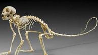کشف اسکلت میمون پنج هزار ساله در شهر سوخته سیستان و بلوچستان