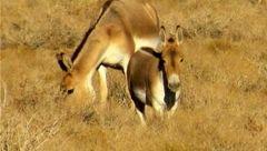 گورخر آسیایی در پارک ملی کویر گرمسار احیا میشود