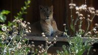 ازدواج 2 شیر ایرانی در باغ وحش ارم تهران + عکس