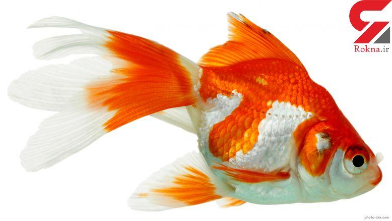 بلاهای خطرناکی که ماهی قرمز عید سرتان می آورد!