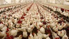 مرغ های سربریده تهران هم آرام گرفتند !