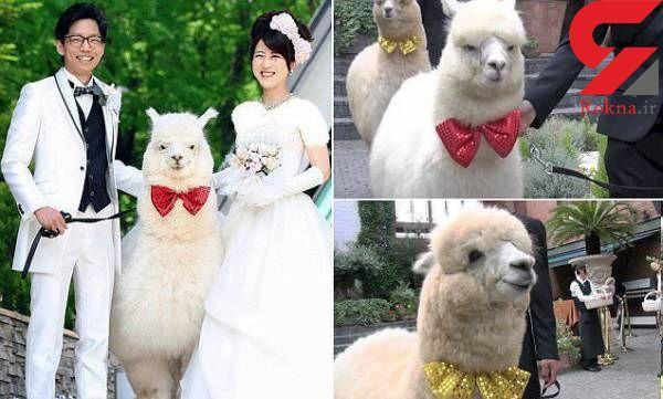 شتری که ساقدوش عروس و داماد شد+عکس