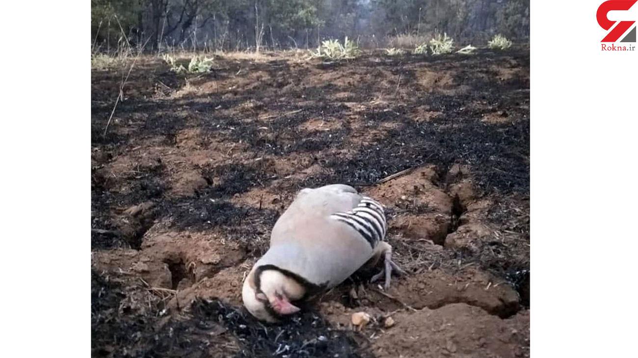 مرگ تراژیک یک کبک در آتش سوزی های زنجیره ای مریوان