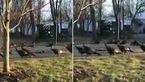 محاصره  گربه مرده از سوی بوقلمون ها+ فیلم