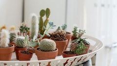 روش های مراقبت زمستانه از گل های کاکتوس