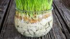 سبزه عید را در تنگ شیشه ای با این روش درست کنید