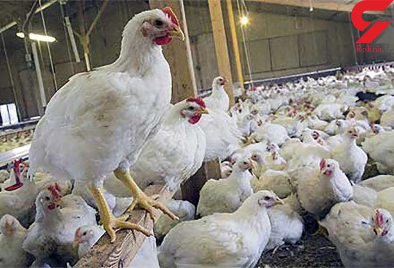 آیا مرغ های البرز معتادند؟!