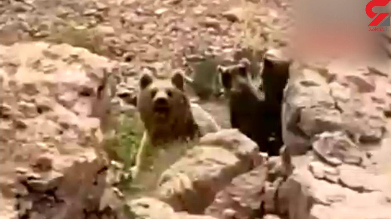 فرار یک خرس با 3 توله اش از خطر + فیلم