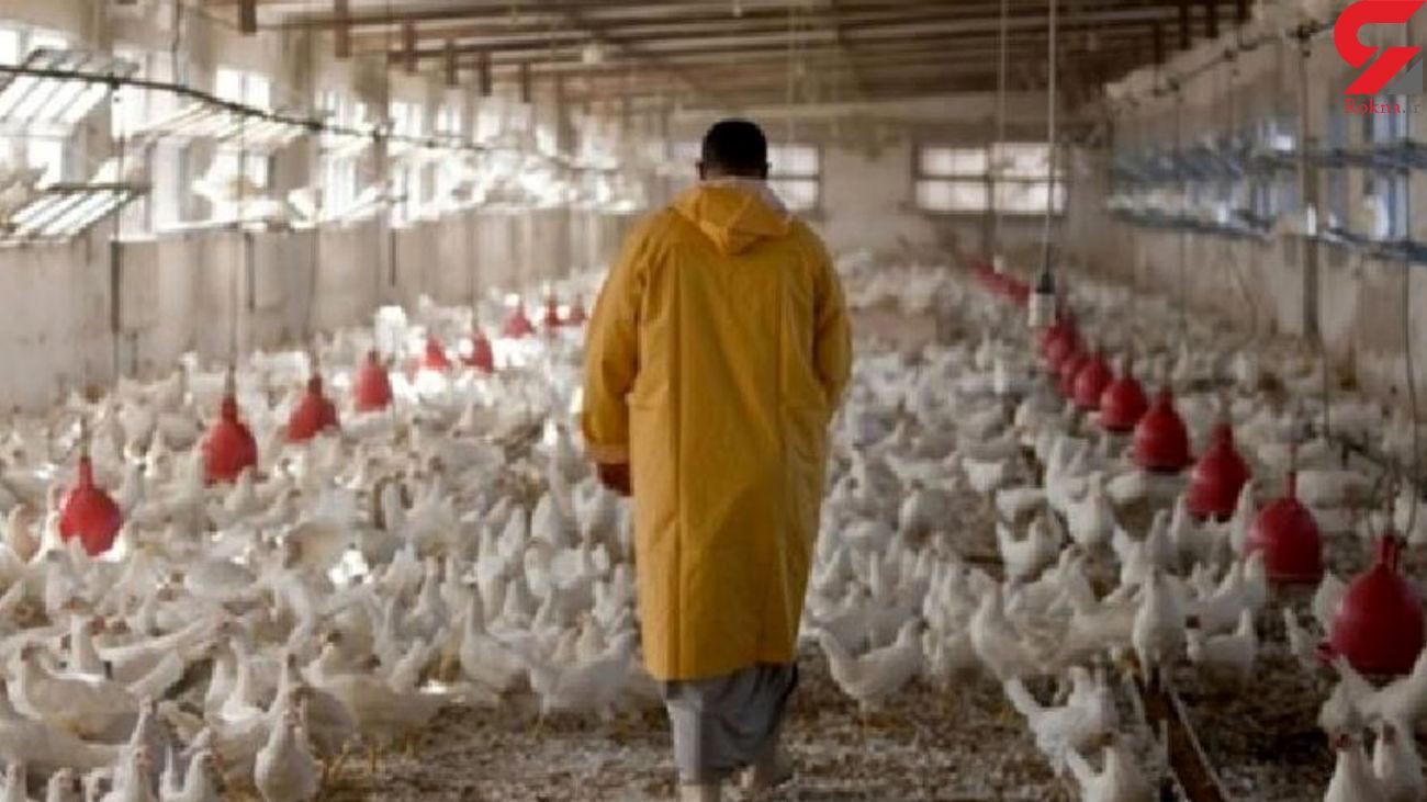 قتل عام مرغ ها بعد از دریافت دان یارانهای !