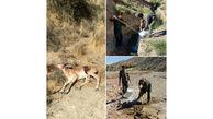 تلف شدن 24 راس از حیات وحش دماوند / علت مرگ، طاعون نشخوارکنندگان است