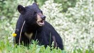 تیکه پاره شدن مرد نیکشهری توسط خرس سیاه