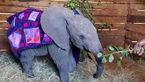 عمل موفقیت آمیز پیوند خرطوم بریده یک بچه فیل