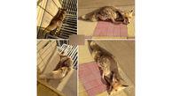 روباه زخمی با پای خود نزد هلال احمری ها رفت + عکس ها / اصفهان