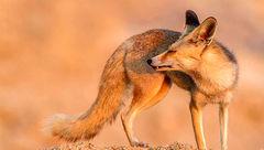 قاچاق روباه شنی ایرانی برای بازسازی محیط زیست عرب + عکس