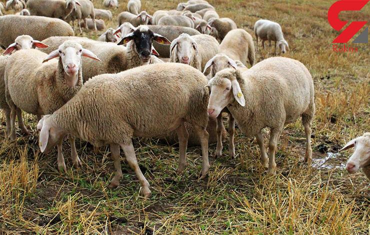 کلاهبرداری گوسفندی دومیلیاردی