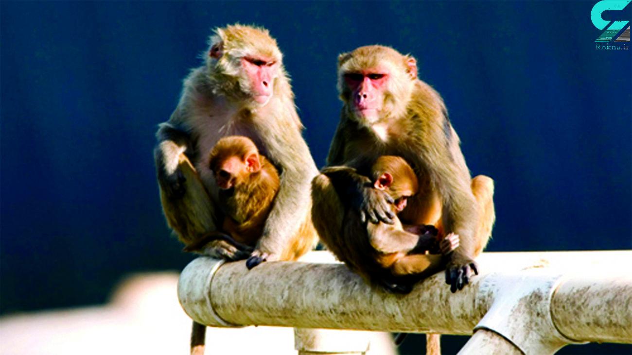 تلاش یک میمون برای نجات فرزندش از داخل چاه + فیلم