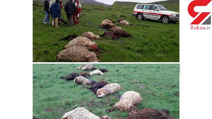 صاعقه جان گوسفندان را گرفت +عکس