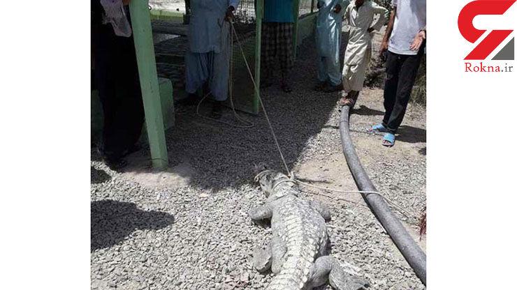 وحشت مردم از تمساح سرگردان در چابهار +عکس