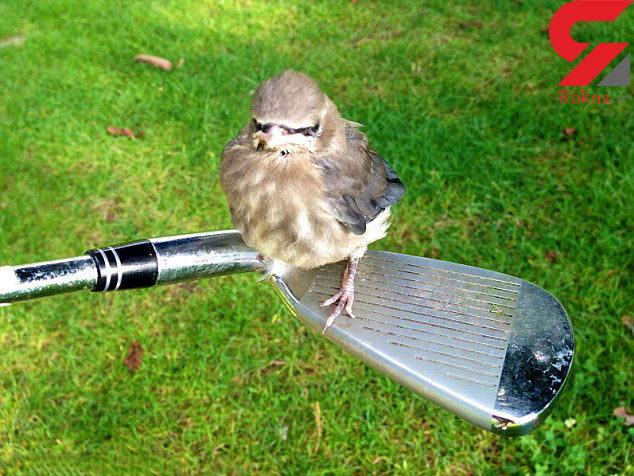 پرنده گلف باز