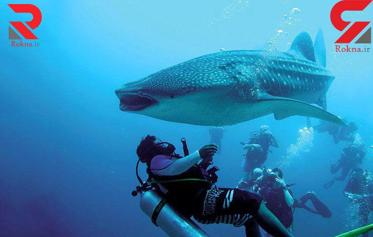 عملیات غواص فداکار برای نجات کوسه نهنگ بزرگ + فیلم