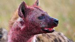 کفتار سر نوجوان 15 ساله را به دندان گرفت