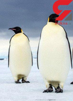 کشف ابر پنگوئنهای 40 میلیون ساله