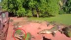 نبرد کروکودیلها برای خوردن یکدیگر