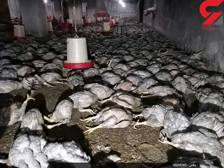 سوختن 7 هزار مرغ در مرغداری نهبندان