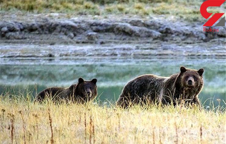 زن باهوش خرس را به جان گرگ انداخت / نجات پس از 12 ساعت سرگردانی در جنگل