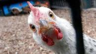 مرغ باز هم گران می شود ؟ + قیمت های جدید