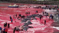 سلاخی ۱۸۰ نهنگ در جزایر فارو با حضور کودکان 5 ساله + عکس