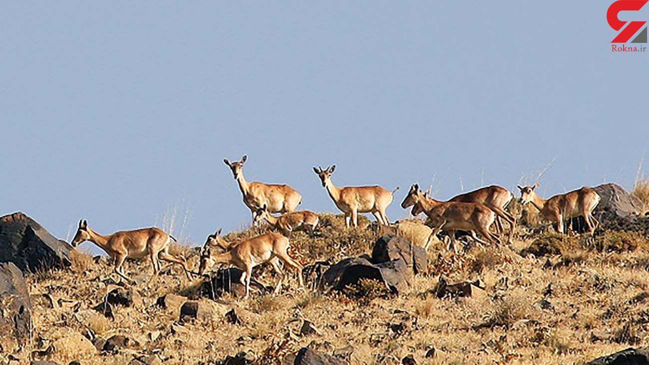 سرشماری تابستانه حیات وحش در پلنگ دره قم انجام شد