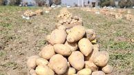 آغاز برداشت سیب زمینی در گلستان