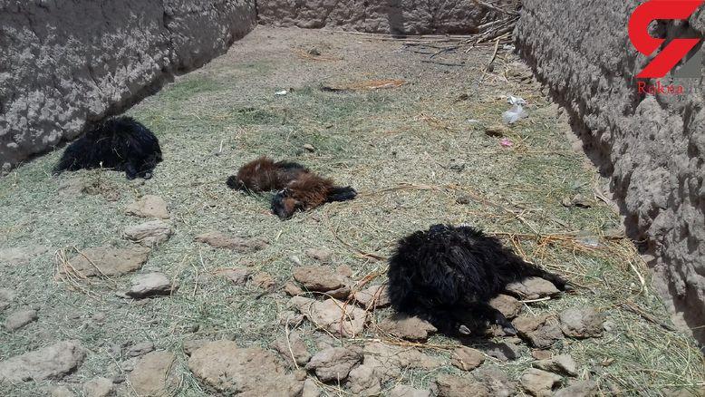 حمله حیوان درنده ناشناخته به روستایی در فهرج + عکس های دلخراش